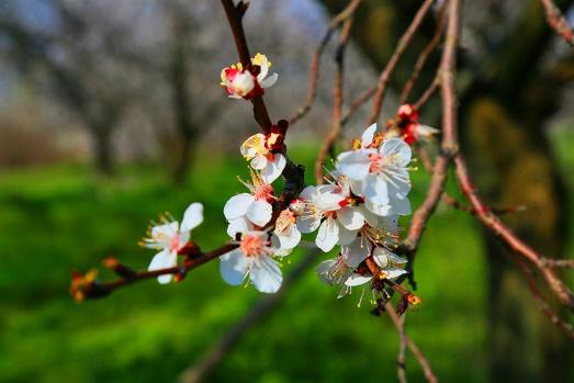 Malatya'da ilkbahar ve kayısıların çiçek açması