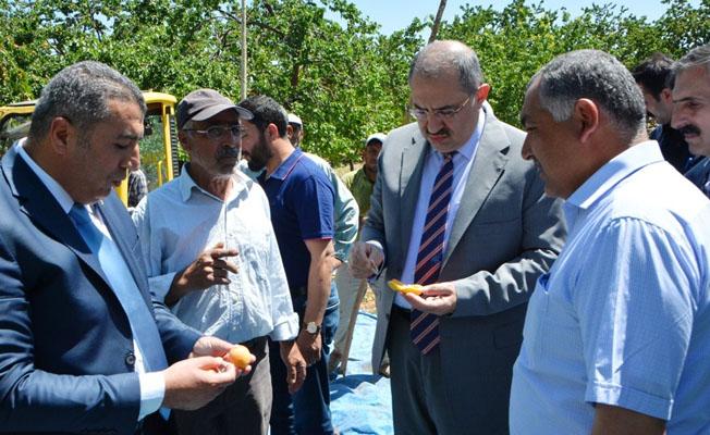 Vali Ali Kaban, kayısı hasat çalışmalarını yerinde inceledi