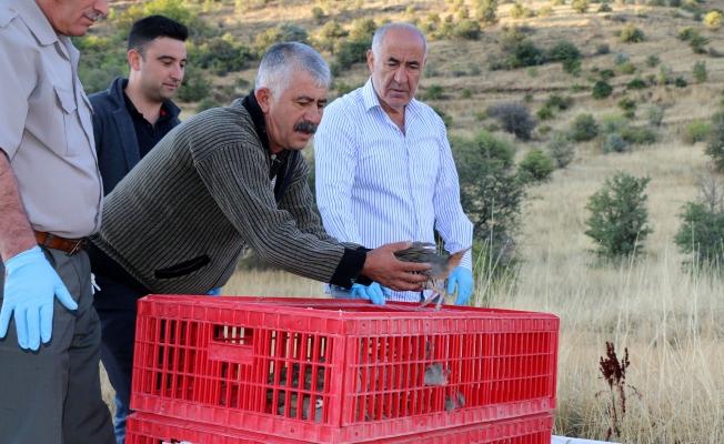 Hekimhan'da kınalı keklikler doğaya salındı