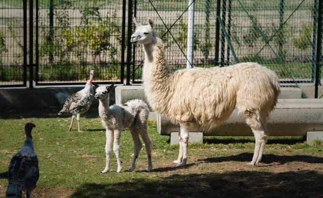 Hayvanat Bahçesinin yeni üyelerine yoğun ilgi