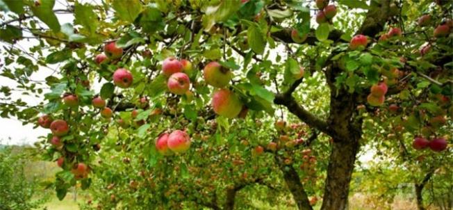 Malatya'da meyve üreticilerine önemli uyarı!..