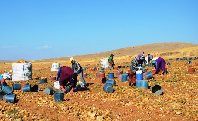 Kayısının başkenti Malatya'da patates hasadı başladı