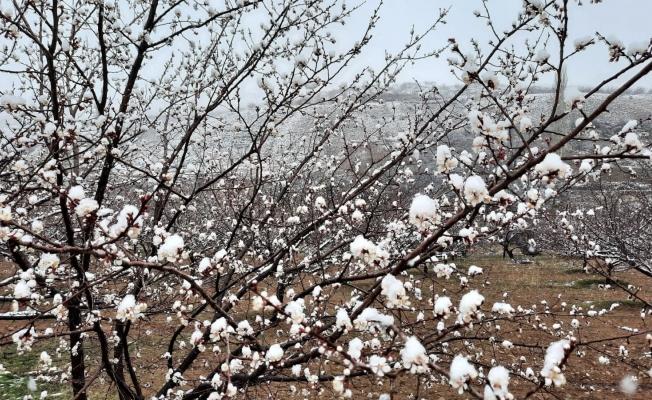 Kuluncak'ta kar yağışı kayısı üreticilerini endişelendiriyor