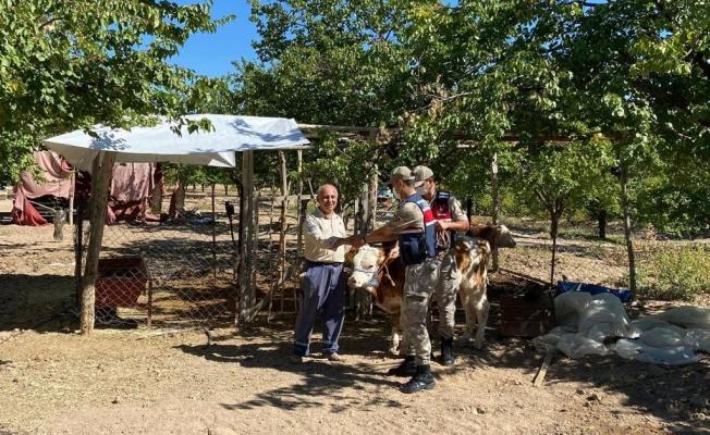 Kayıp inekler drone ile bulundu! Sahibine teslim edildi