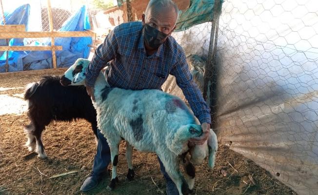 Sokak köpekleri koyunlara saldırdı!