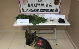 Malatya'da yasa dışı kenevir operasyonu! Bin 260 kök ele geçirildi!