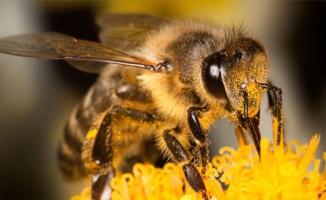 Koronaya iyi geldiğini düşünerek bal arılarına kendilerini ısırtıyorlar!