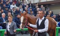 16 Arap yarış atının satışından 3 milyon 445 bin TL gelir elde edildi