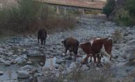 Kaybolan inekleri Jandarma buldu