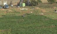 Şeker pancarında hasat devam ediyor