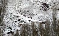 Darende'de aç kalan yaban domuzları yerleşim yerlerine indi!