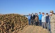 Darende'de pancar üretimi artıyor