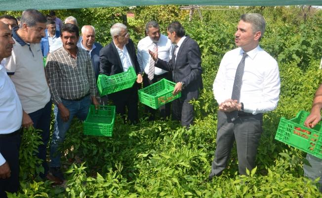 Malatya'da yerli üretim 'Dila Kırmızıbiber' de ilk hasat gerçekleştirildi