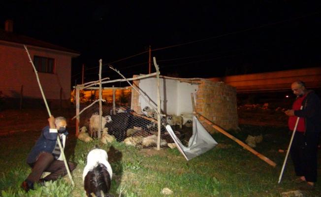 Başıboş köpekler, 12 koyunu telef etti
