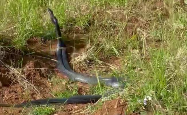 Kayısı bahçesinde yılan dansı! Boyları 2 metre!