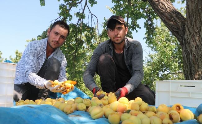 Mevsimlik işçilerin sıcak havada zorlu mesaisi sürüyor