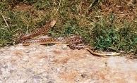 2 metre uzunluğundaki 2 yılan korku dolu anlar yaşattı!