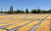 """""""Sarı altın"""" hasadının sonuna gelindi"""